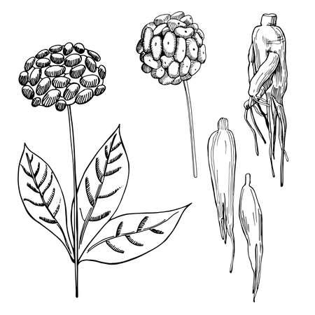 Hand drawn ginseng on white background.Vector sketch illustration. 向量圖像