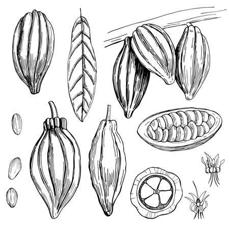 Hand drawn cocoa bean. Vector sketch illustration 向量圖像