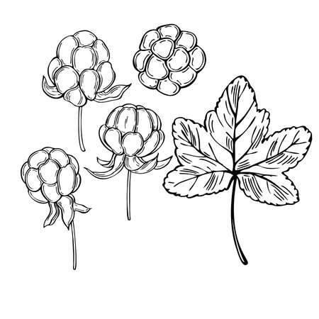 Hand drawn forest berry. Cloudberry on white background. Vector sketch illustration Illustration