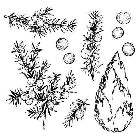Hand drawn juniper, twigs and berries. Vector sketch illustration.