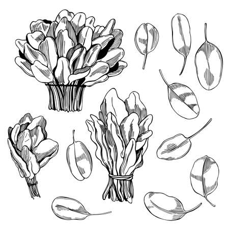 Hand drawn spinach on white background. Vector sketch illustration.