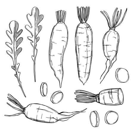 Hand drawn Daikon radishes. Vector sketch illustration.