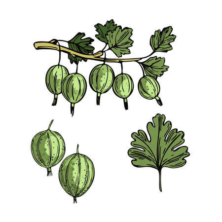 Hand drawn berry. Gooseberry on white background. Vector sketch illustration 向量圖像