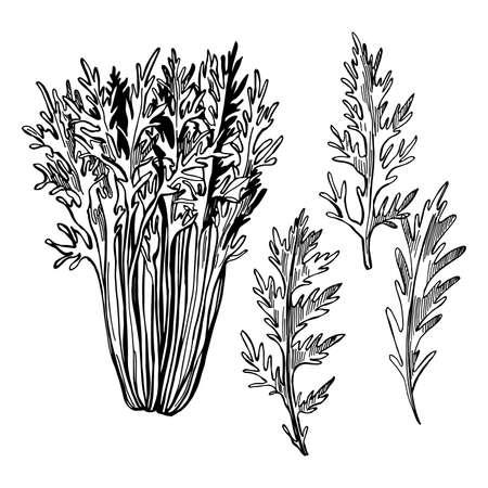 Hand drawn Mizuna lettuce. Japanese mustard. Vector sketch illustration