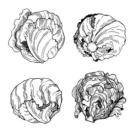 Hand drawn Iceberg lettuce. Vector sketch illustration