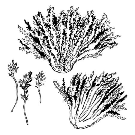 Hand drawn escarole endive. Lettuce frieze. Vector sketch illustration