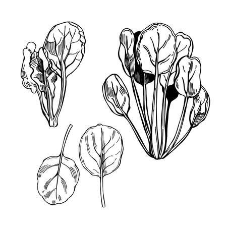 Hand drawn tatsoi or tat choy. Asian leaf mustard. Vector sketch illustration