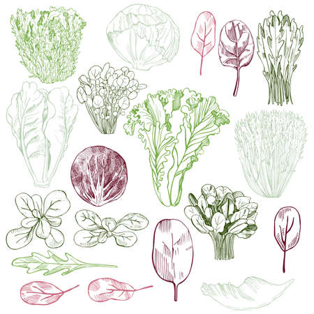 Hand drawn different kinds of lettuce. Vector background.