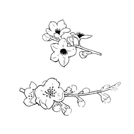 Flowering branches of cherry. Vector sketch illustration.