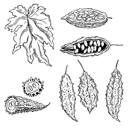 Hand drawn balsam pear, momordika, Bitter gourd, bitter melon, Balsam apple. Vector sketch illustration.