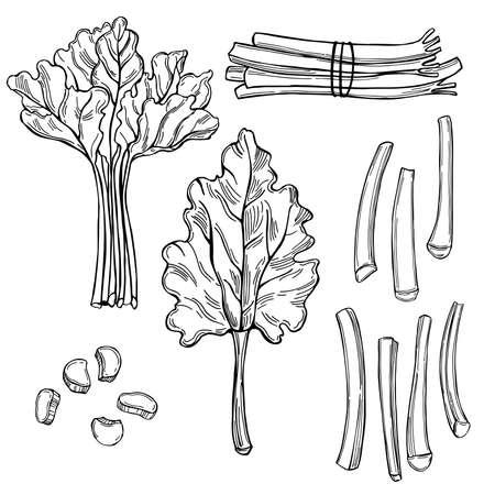 Hand drawn rhubarb on white background.Vector sketch illustration. Vektorgrafik