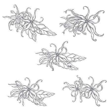 Hand drawn Ylang-Ylang flowers on white background. Vector sketch illustration.