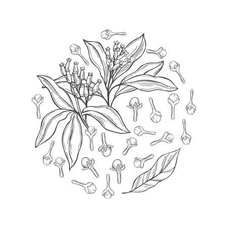 Hand drawn clove. The pods and flowers in a circle. Vector sketch illustration. 矢量图像