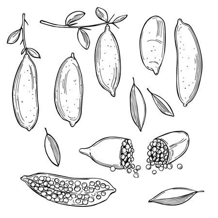 Hand drawn Australia finger limes, citrus caviar. Vector sketch illustration. Vector Illustratie