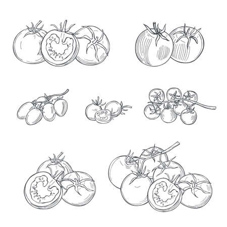 Hand drawn tomatoes on white background. Vector sketch illustration.