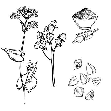 Hand drawn Buckwheat plant. Vector sketch illustration.
