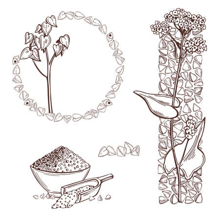 Hand drawn Buckwheat plant оn white background. Vector sketch illustration.
