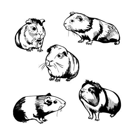 Hand drawn guinea pigs. Vector sketch illustration.