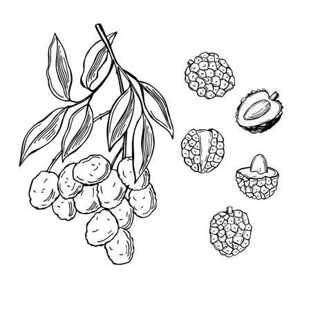 Hand drawn lychee fruits on white background. Vector sketch illustration. Illusztráció