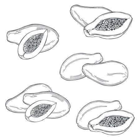 Hand drawn papaya fruit on white background.Vector sketch illustration.