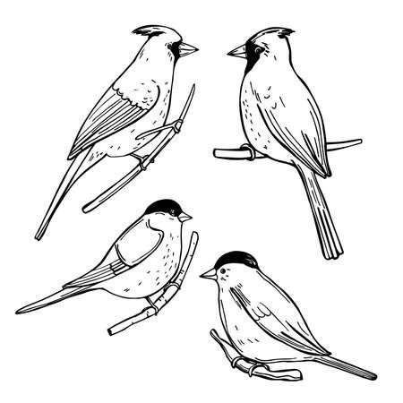 Hand drawn winter birds. Bullfinches and Cardinals. Vector sketch illustration. Vektorové ilustrace
