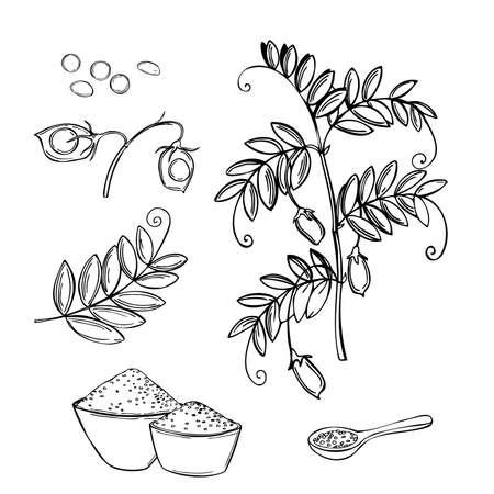 Hand drawn lentil plant. Vector sketch illustration.