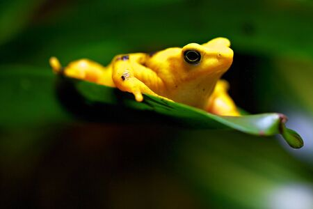 Yellow frog resting on a green leaf