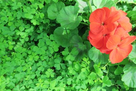 lucky clover: Geranium and Clover background