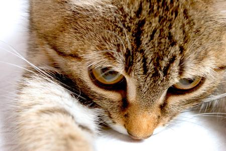 gray tabby: Muzzle angry gray tabby kitten close-up