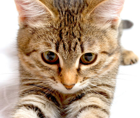 hunter playful: Striped kitten plays on a white background