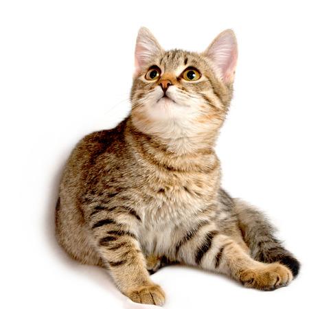 Grijze tabby katje op een witte achtergrond