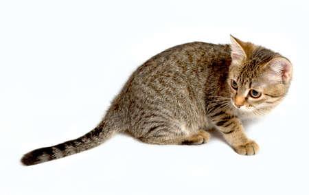 gray tabby: Gray tabby kitten on a white background