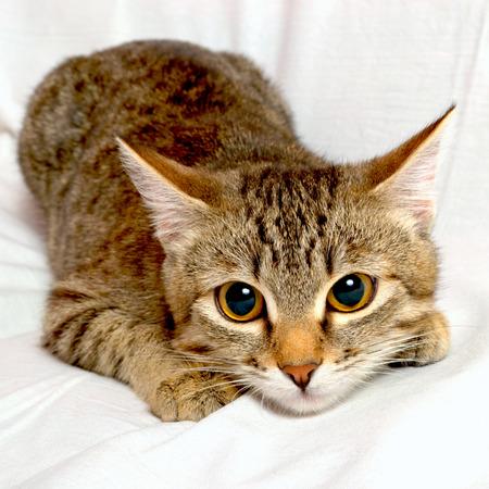 Striped cat plays on a white background  Stok Fotoğraf