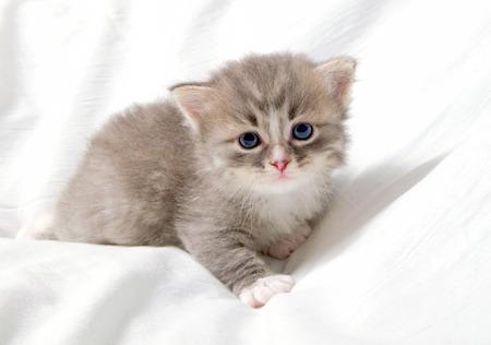 Pequeño gatito raza siberiano en un fondo blanco Foto de archivo - 30028497