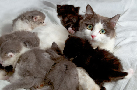 Siberian breed cat feeding her kittens  Stok Fotoğraf