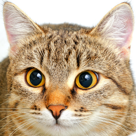 alergenos: Gato gris a rayas sobre un fondo claro.