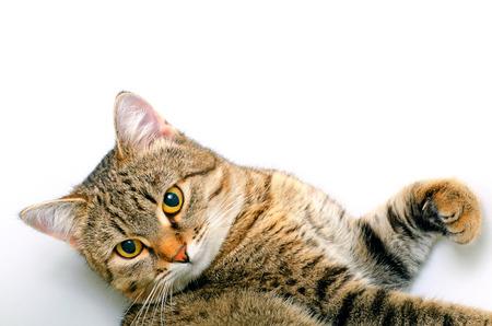 Grijs gestreepte kat op een lichte achtergrond.