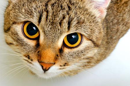 Gato gris a rayas sobre un fondo claro. Foto de archivo - 34734151
