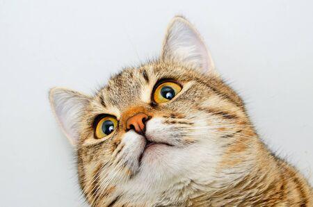 inquiring: Gray tabby cat inquiring look, close-up. Stock Photo