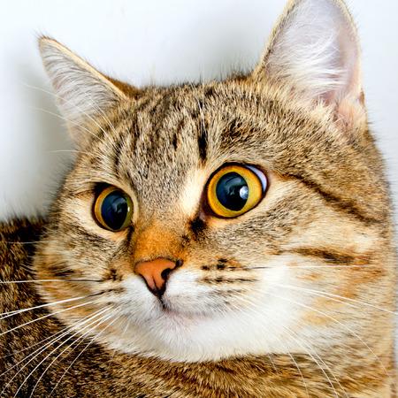 Mirada inquisitiva gato atigrado gris, primer plano. Foto de archivo - 36203952