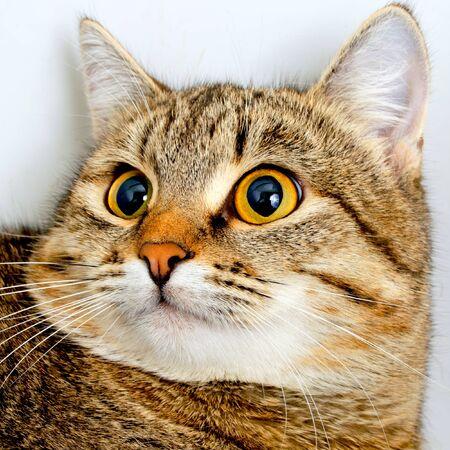 Mirada inquisitiva gato atigrado gris, primer plano. Foto de archivo - 36203953