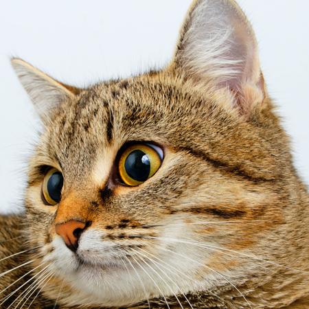gray tabby: Gray tabby cat inquiring look, close-up. Stock Photo