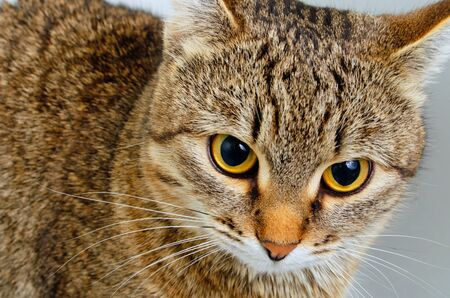 Gray tabby cat inquiring look, close-up. Imagens
