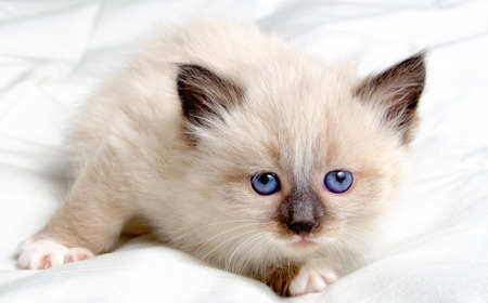 Small kitten with blue eyes Siberian breed.