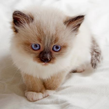 kitten: Small kitten with blue eyes Siberian breed.