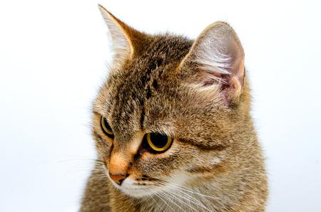 Gato de tabby gris sobre un fondo claro. Foto de archivo - 47254902