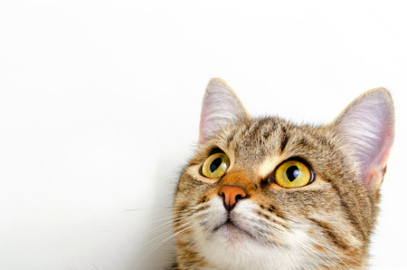 Grijze gestreepte kat op een lichte achtergrond.