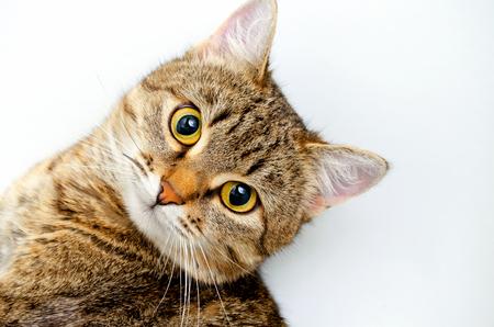 gray tabby: Gray tabby cat on a light background.