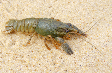decapod: River, decapod crayfish close up in their natural habitat. Stock Photo