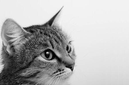 Gato de tabby gris sobre un fondo claro. Foto de archivo - 67684185